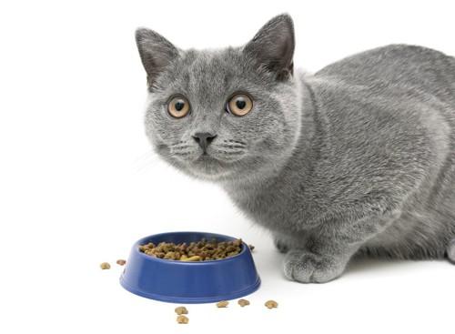 餌を食べているグレーの猫