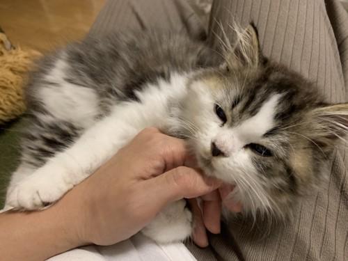 飼い主の膝の上で喉を触られる猫