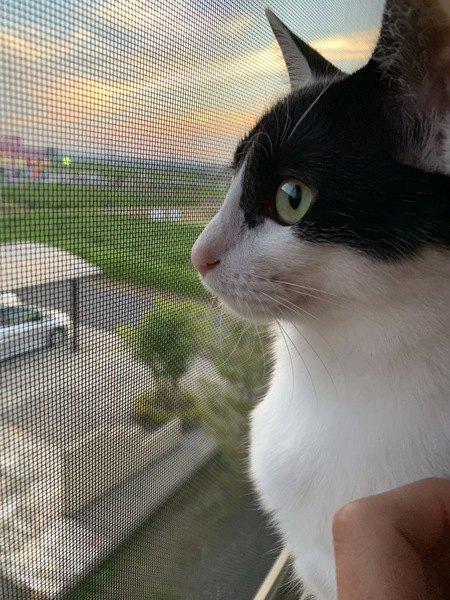 網戸越しに外を見る猫の横顔
