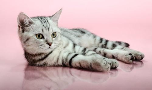 横座りのアメショーの子猫