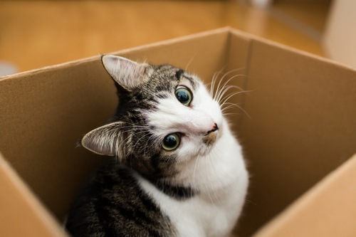 段ボールの中からこちらを向く猫