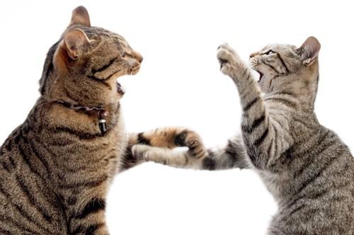 猫パンチし合う二匹の猫
