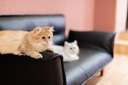 ソファに座る猫たち