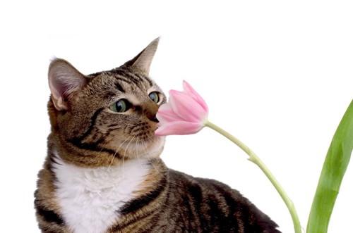 ピンクの鼻を嗅いでいる猫