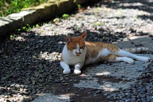 日陰で休む野良猫