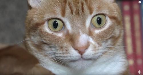 びっくりした顔のチャトラ猫のどアップ