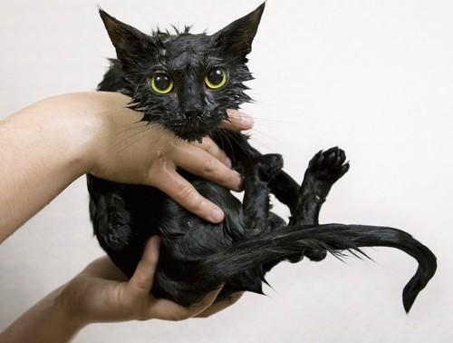 抱き上げられた濡れている黒猫