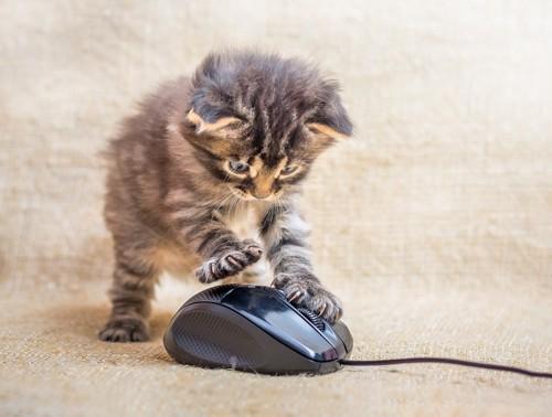 マウスを確認する子猫