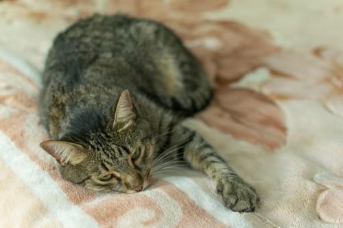 不満げに寝そべる猫