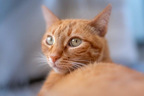 どこか遠くを見つめる猫