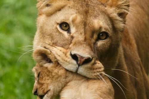 子供を咥えるライオン