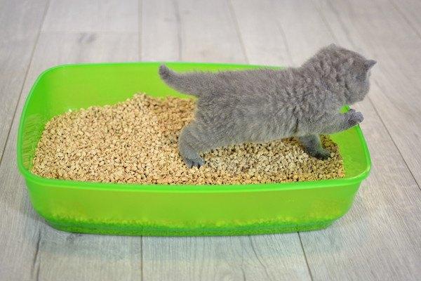 グリーンのトイレに入る子猫