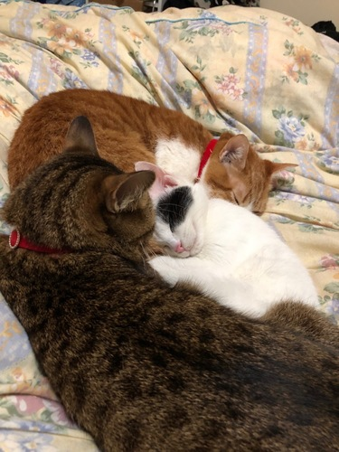 ベットで一緒に眠る三匹の猫