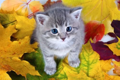 紅葉した葉の上の子猫