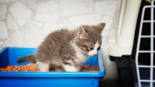 青いトイレで用をたす子猫