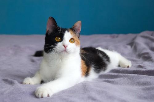 ベッドの上でくつろぐ三毛猫