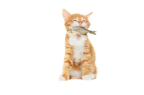 魚を咥えた猫