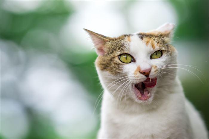 口を開ける三毛猫