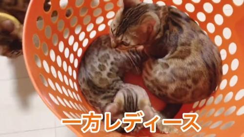 カゴに入る2匹の猫