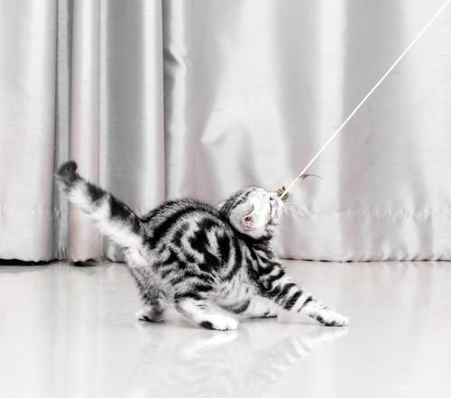 おもちゃで遊ぶアメリカンショートヘアの子猫