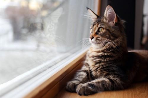 スフィンクス座りの猫