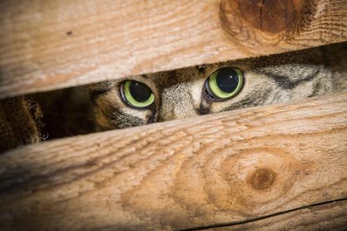 板の隙間から目だけのぞかせている猫