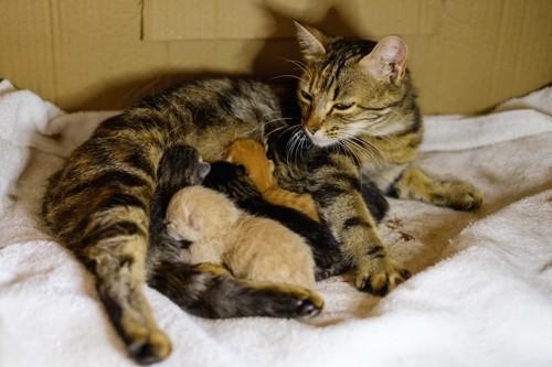 授乳中の母猫と子猫たち