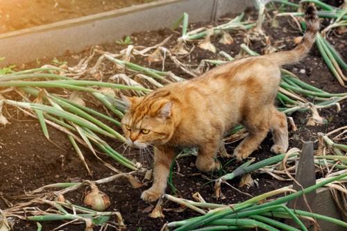 ネギ畑を歩く猫