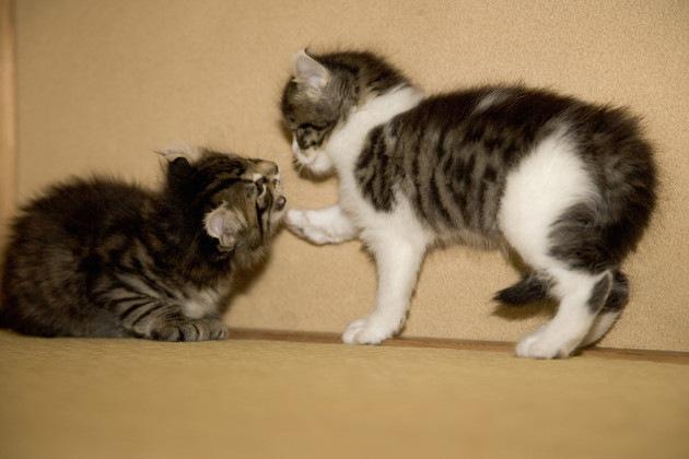 兄弟かもしれない猫