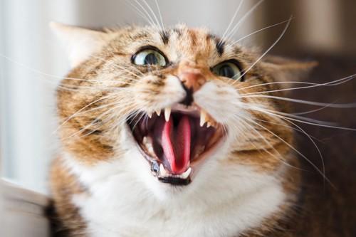 口を開けて怒る猫
