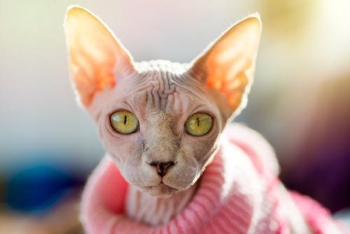 ピンク色のセーターを着るスフィンクス