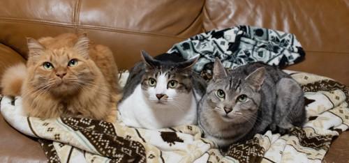 ソファの上で寄り添う3匹の猫