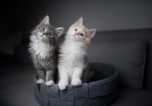 同じ方向を見つめる2匹の子猫