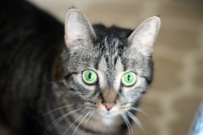グリーンの目の色をした猫