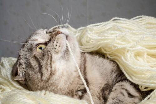 毛糸を口にする猫