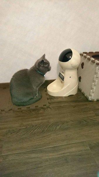 今日のねこちゃん、ごはんを待つ猫