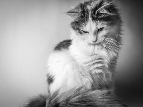 モノクロの長毛猫