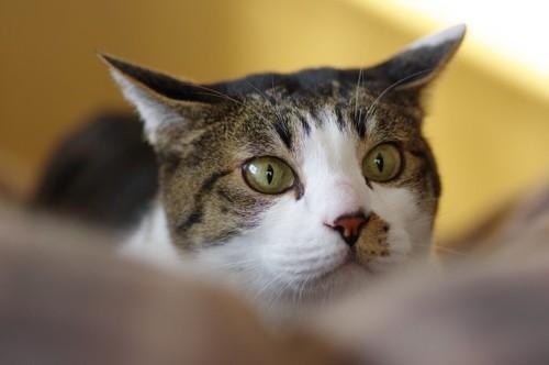 耳を横に向けた猫