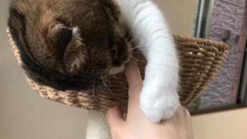 キャットタワーのベッドから身を乗り出す猫