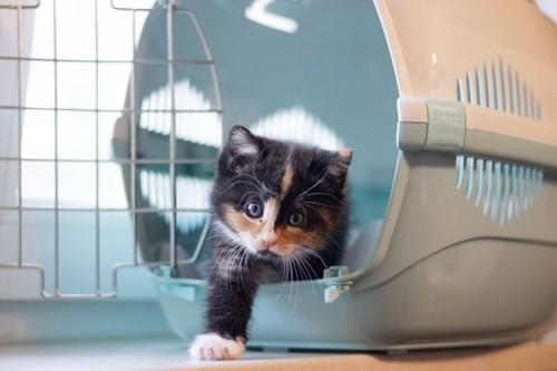 キャリーから出てくる子猫