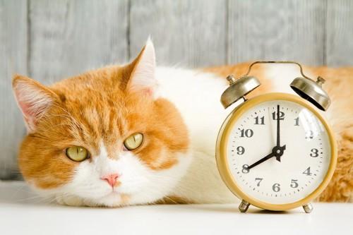 時計と寝そべってこちらを見る猫