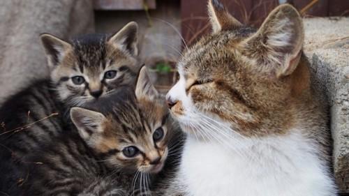 母猫のそばに寄り添う2匹の子猫