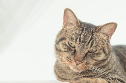 不機嫌な表情の猫
