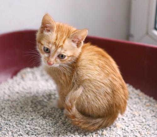 猫用トイレの中にいる子猫