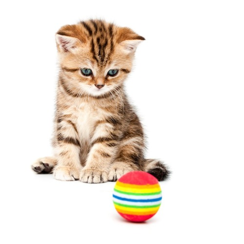 おもちゃを見つめる子猫