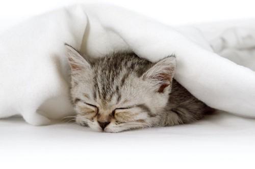 毛布に包まって寝る子猫