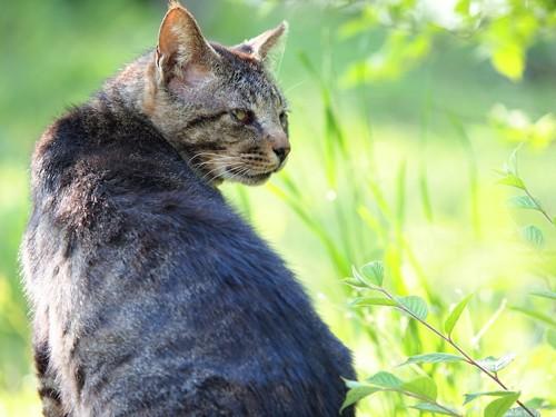 草むらで振り返っている猫