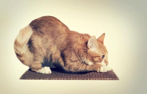 姿勢を低くして爪をとぐ猫