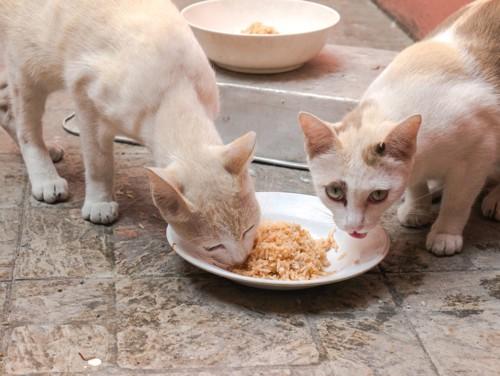 2匹で餌を食べている猫