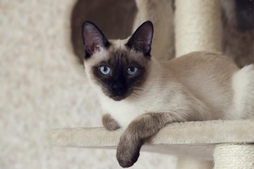 キャットタワーに座るシャム猫